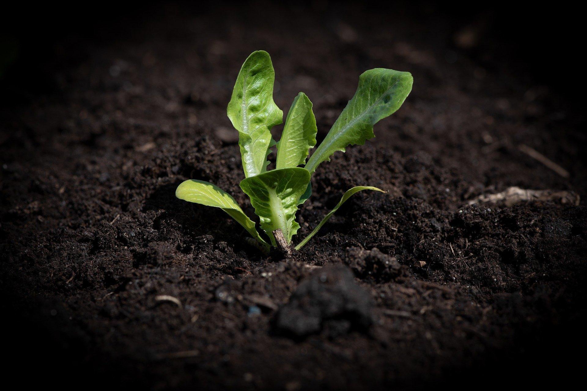 lettuce-seedling-41414501920-1606378912.jpg